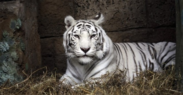 white-bengal-tiger-690x359